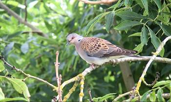 Turtle Dove N. Yorkshire copyright Richard Baines