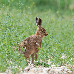 Brown hare by Paul Harris