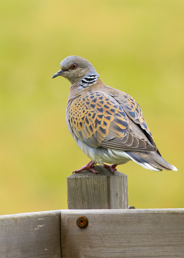 Turtle dove on wooden fence post