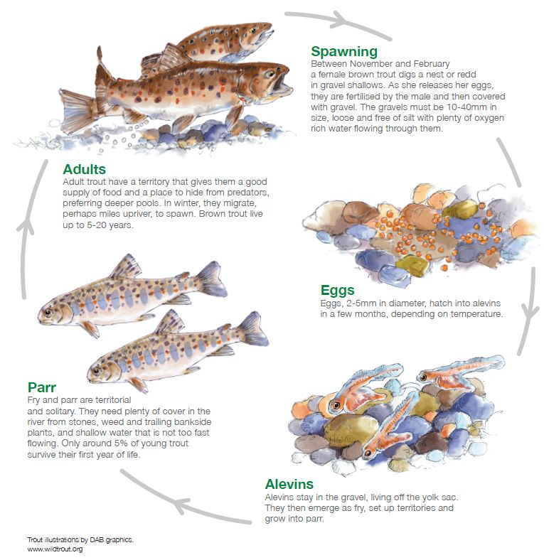 Diagram showing the brown trout life cycle