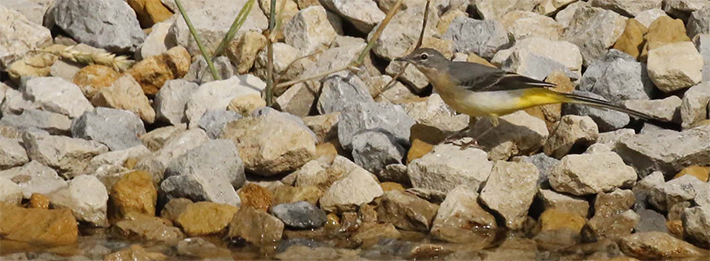 Grey wagtail feeding by the side of a dew pond we completed in February 2020 by Richard Baines