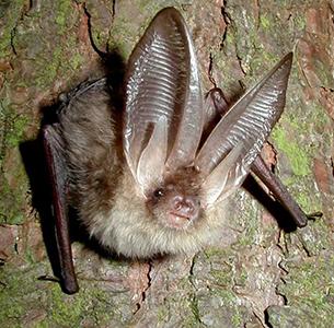 Brown Long Eared Bat - by John Altringham