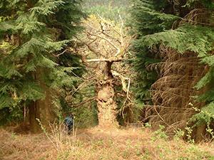 PAWS - veteran tree