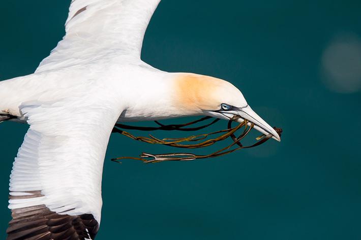 Gannet Credit Paul Harris