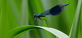 A banded demoiselle by Liz Bassindale